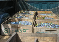crates of blueberries in truck